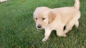 light golden retriever puppies. Leo Light Golden Retriever Puppy Ohio Breeder And Puppies YouTube