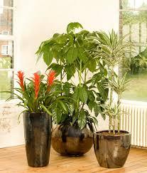 Indoor guzmania schefflera amate dracaena plant pots