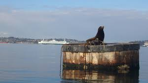 sea lion sunbathing between meals in seattle s eliott bay photo johnny mumbles cc