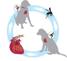 Image result for canine heartworm