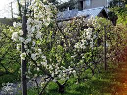 Training Fruit Trees  WwwcoolgardenmeGrowing Cordon Fruit Trees