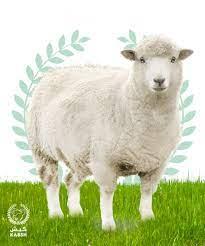 خروف روماني فاخر كبير - كبش للذبائح واللحوم