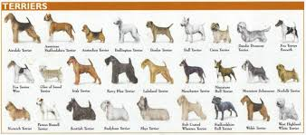 Kinds Of Dogs Chart What American Kennel Club Akc Group Is The Boston Terrier