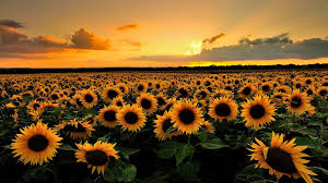 sunflower wallpaper images for wallpaper background 1920x1080 px 536 76 kb