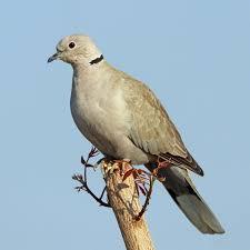 Eurasian Collared Dove Wikipedia