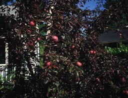 Who Are We  HardyFruitTreesca  The Hardy Fruit Tree NurseryPlum Fruit Tree Varieties