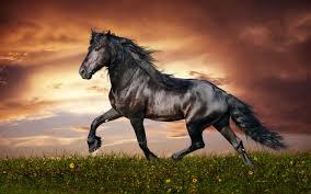 Beautiful Black Morgan Horse High Definition