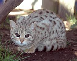 white bengal cat. Exellent Cat Beautiful White Bengal Cat  With White Bengal Cat A