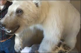 grolar bear size grolar03 jpg