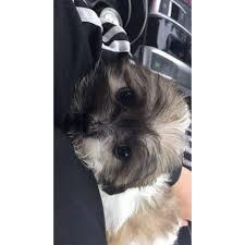 2 months old shih tzu female puppy
