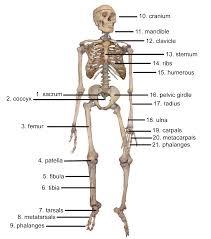 Human Bone Chart Cybersurgeons
