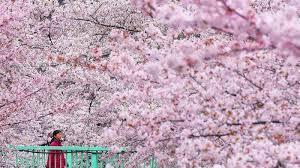 Bunga Sakura Bunga Sakura Di Jepang Tahun Ini Mekar Lebih Awal Berikut