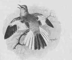 Image result for moaning dove