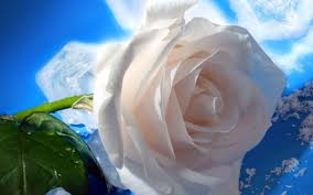white rose hd widescreen wallpaper 1920 1080 hd wallpapers for desktop and laptop
