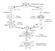 Flow Chart Showing Mechanisms Of T Lymphocyte Activation Or