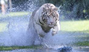baby white tigers in water. Exellent Tigers But The Truth Is They Have No Other Predators None Except Humans Obviously  Also Did You Know First White Tiger Was Spotted In 1915 That Over 100  For Baby Tigers In Water A