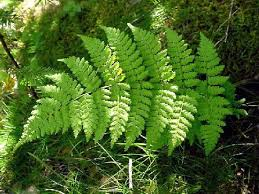 Image result for spreading wood fern