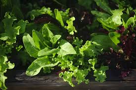 salad greens glisten in the mist after being watered greens are easy to grow