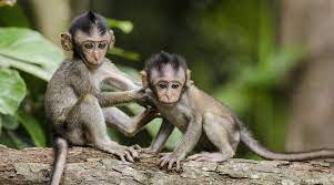 Monkey B virus: Know more about the symptoms, prevention and cure    Lifestyle News,The Indian Express