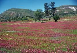 field of orthocarpus s creek san luis obispo county