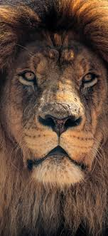 1242x2688 4k Lion Hd Iphone XS MAX HD ...