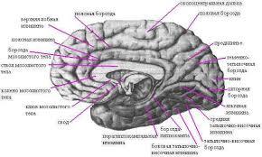 Головной мозг Рефераты ru Рис Борозды и извилины правого полушария большого мозга медиальная и нижняя поверхности