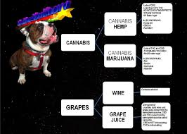 cannabis oil for dogs
