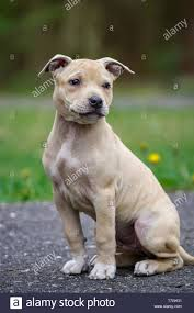 Light Box Terrier For Sale Light Brown American Pit Bull Terrier Puppy Stock Photo