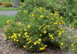 Potentilla – How to Grow and Care for Shrubby Cinquefoil | Garden ...