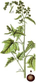 Chenopodium hybridum PFAF Plant Database