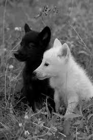 black wolf and white wolf love.  White White Wolf And Black In Love  Photo5 And Black Wolf Love