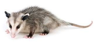 Rodents Lower Classifications Mammals Zoology
