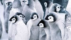 cute baby penguin wallpaper. Delighful Baby Baby Penguins Wallpaper Animals Wallpapers On Cute Penguin Z