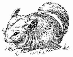 Small Picture Coloring page chinchilla img 15755