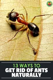 here are 13 ways to get rid of ants naturally along with 6 common ant
