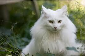 Hasil gambar untuk Kucing Birman