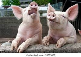 <b>Funny Pig</b> HD Stock Images | Shutterstock