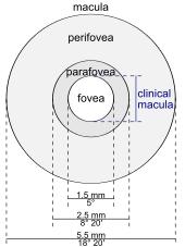 schematic diagram of the macula lutea of the retina showing perifovea parafovea fovea and clinical macula