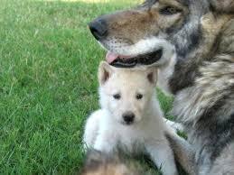 white german shepherd wolf mix puppy.  Puppy Black German Shepherd Wolf Mix Puppies Carol39s Dog Den39s Throughout White Puppy W