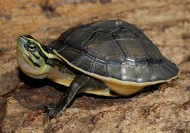 Care for malayan asian box turtle