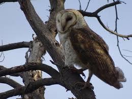Barn Owl New Zealand Birds Online
