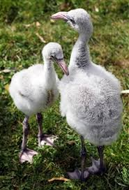england style steps: two baby flamingos take their first steps at london zoo on june   in