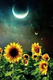 file sunflower wallpaper 773 jpg by rhett cicero