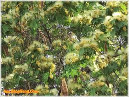ขายต้นจามจุรีสีทอง