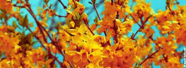 gold forsythia flowers facebook cover spring s