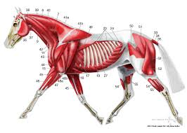 Equine Superficial Musculature Anatomy Chart Muscle