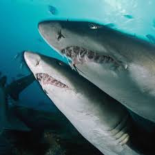 sand tiger shark national geographic