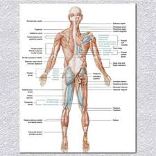 Details About Human Body Muscular System Anatomy Poster Set Laminated Anatomical Muscle Chart