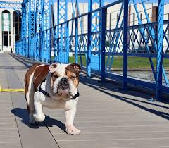 New Orleans Bulldog Rescue - Home ...