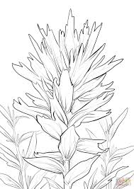 Indian Paintbrush Coloring Pagel